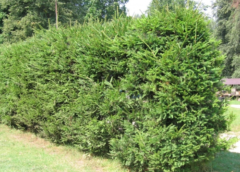 Посадка и уход за елью в открытом грунте