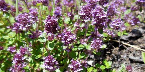 Лекарственные растения: тимьян ползучий, розмарин лекарственный