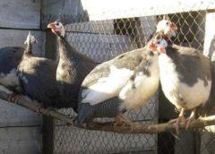 """Серая куропатка, фазан, индюшка – """"необычные"""" обитатели двора"""